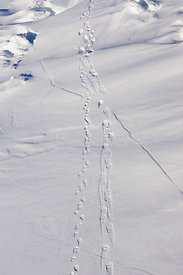 Aerial view of Polar Bear {Ursus maritimus} tracks on sea ice, Wapusk NP, Manitoba, Canada