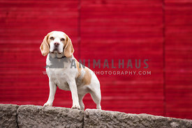 beagle standing on wall in front of red wall