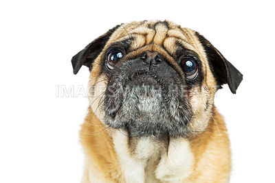 Portrait Pug Dog With Big Eyes