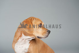 brown and white beagle head turned to the right on a gray background