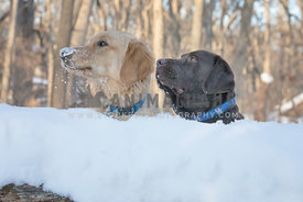 Funny golden retriever dog and chocolate labrador dog with icy muzzles are looking to the side in a snowy forest setting