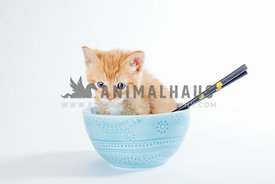 orange kitten sitting in blue pattern  bowl with chopsticks