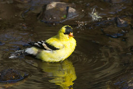 September - American Goldfinch (male)