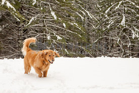 Golden retriever walking in the snowy woods