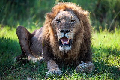 Lion After eating - South Africa - Kruger Park