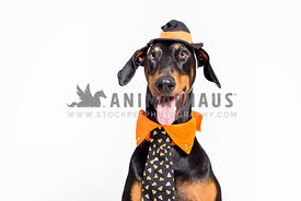 Silly doberman pinscher wearing a halloween outfit