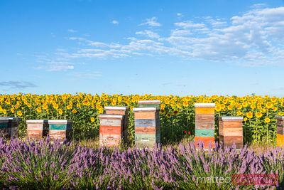 Beekeeping hives in Provence, France