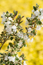 Luma apiculata 'Glanleam Gold'. Parkhead, Roseneath, Helensburgh, Dumbartonshire, Scotland, UK