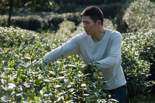 Tea grower Luo Rong Rong