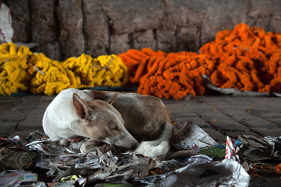 A stray dog sleeps in front of flower garlands at the Howrah Flower Market, reputed to be the largest flower market in Asia. ...