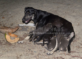 stray female dog feeding her five puppies