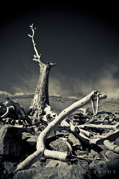 Dead quiver tree on a desert mountain