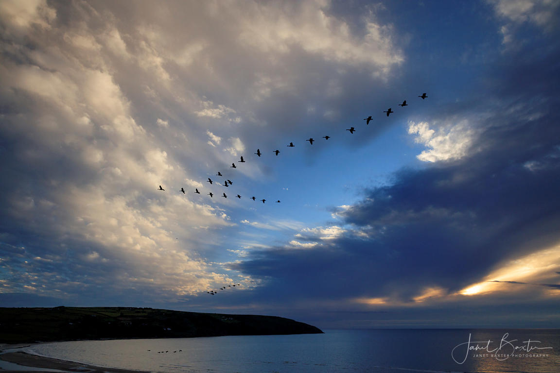 Geese over the Teifi at sunset