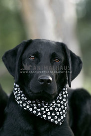 calm black labrador portrait