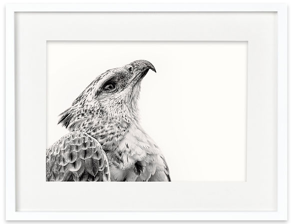 Martial Eagle | Africa on White