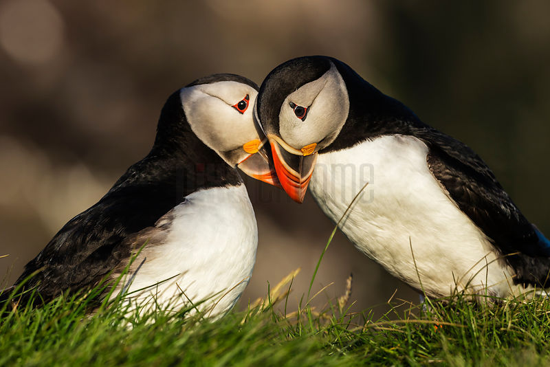 Portrait of Courting Puffins