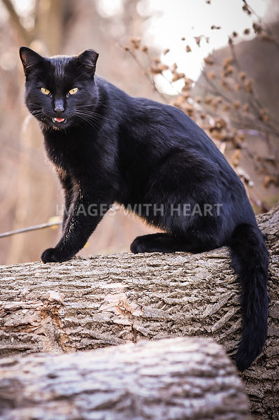 Black_Cat_On_Log_Open_Mouth