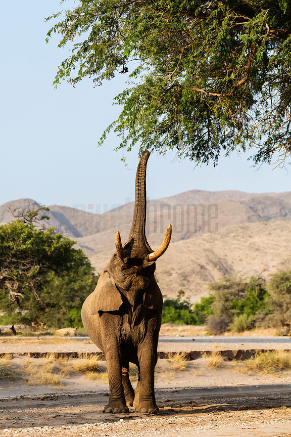 Desert Adapted Elephant Browsing off a Camelthorn Tree