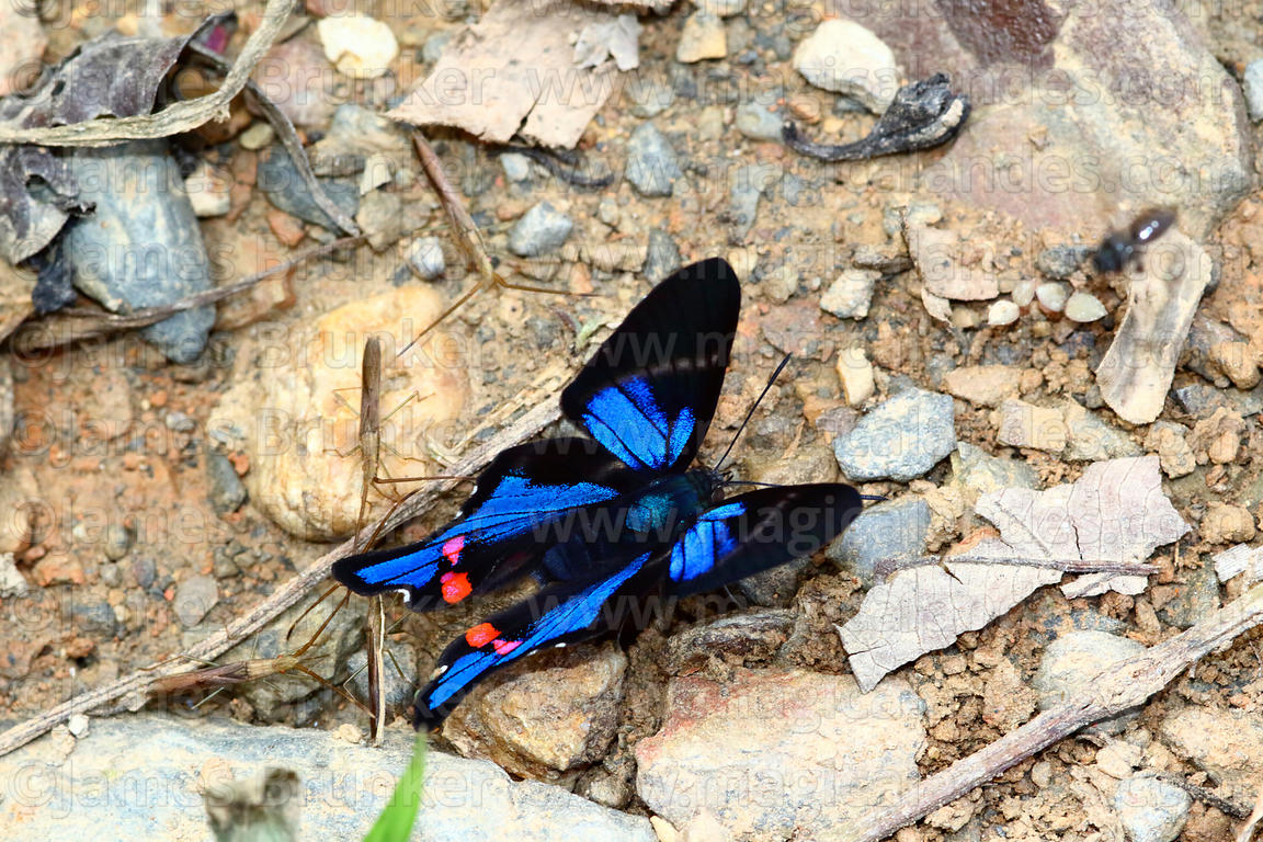 Blue Doctor butterfly ( Rhetus periander )