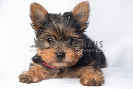 yorkie Puppy White Background
