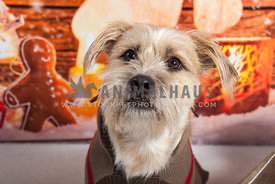 small dog wearing sweater with christmas backdrop