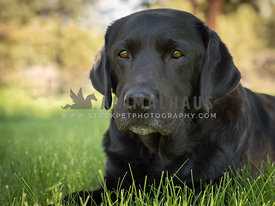 black lab lying down in summer grass under trees
