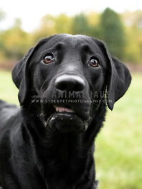 black Labrador retriever with worried expression