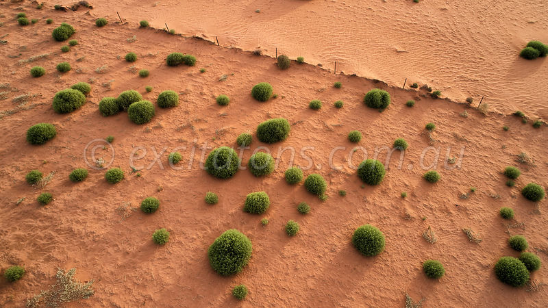 Aerial photo of Salsola australis growing on sand drift.