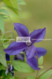 Clematis 'Harlow Carr' (clématite). Collection Arnaud Travers