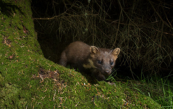 More camera trapping of Pine Marten
