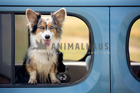Corgi leaning out a car window