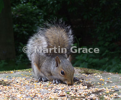 Grey Squirrel (Sciurus carolinensis) eating bird seed, Nottinghamshire, England