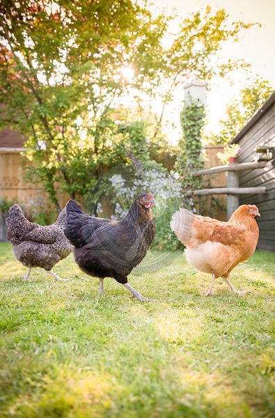 A free range Speckledy, Blackrock and Lohmann Brown hen in a garden.