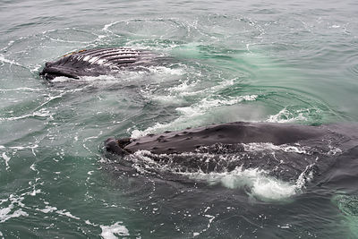 Two Humpback whales (Megaptera novaeangliae) bubble net feeding of the East coast of Svalbard, Norway, July.