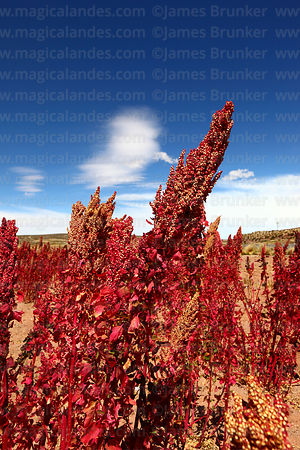 Field producing seeds for rosa blanca quinoa real plants (Chenopodium quinoa), Bolivia