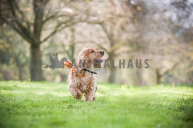 Golden Cocker Spaniel running in the park