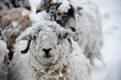 Swaledale sheep in winter snowstorm. Cumbria, UK