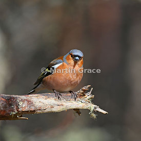 Male Common Chaffinch (Fringilla coelebs) on trunk of native Scots Pine (Pinus sylvestris var scotica), Scottish Highlands