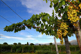 Grape vines in Concepción valley, Tarija Department, Bolivia