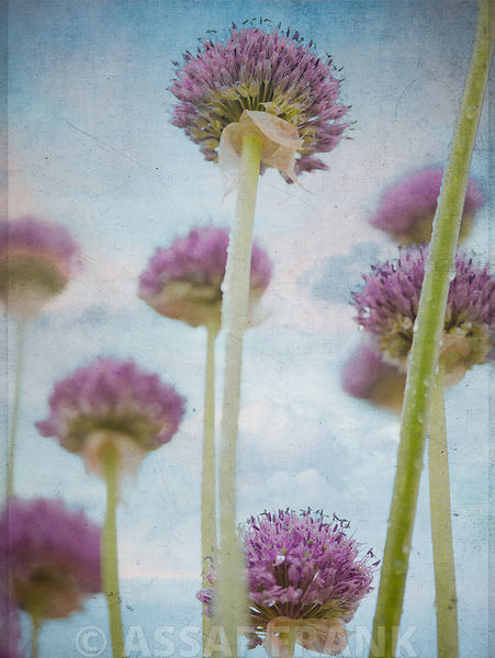 Allium flowers, vintage