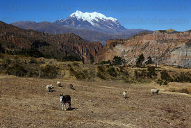 Donkey, sheep, Palca Canyon and Mt Illimani, Cordillera Real, Bolivia