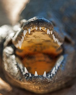 Closeup Of Aggressive Nile Crocodile