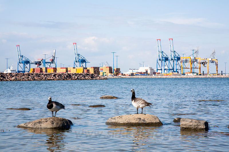 Barnacle Geese, Vuosaari Harbour in the backround