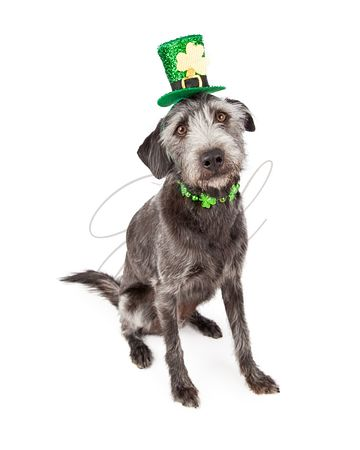 St Patricks Day Terrier Dog