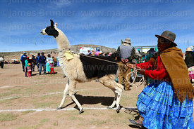 Aymara woman trying to control her llama after it has been weighed, Curahuara de Carangas, Bolivia