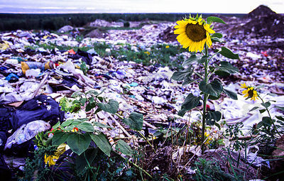 Sunflowers on refuse dump