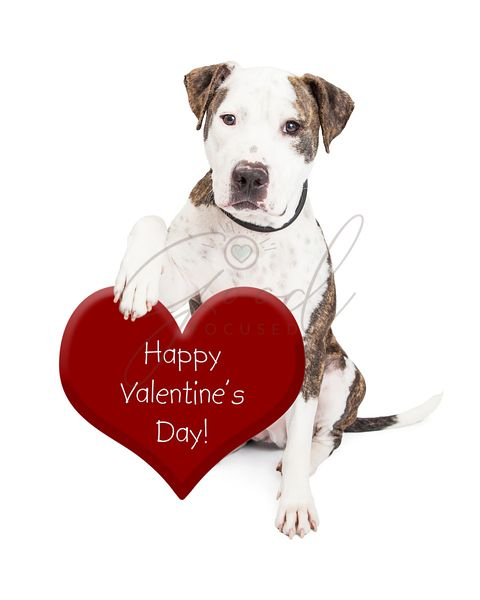 Pit Bull Dog Valentines Day Heart