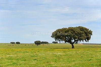 Holm oak in the vast plains of Alentejo. Portugal
