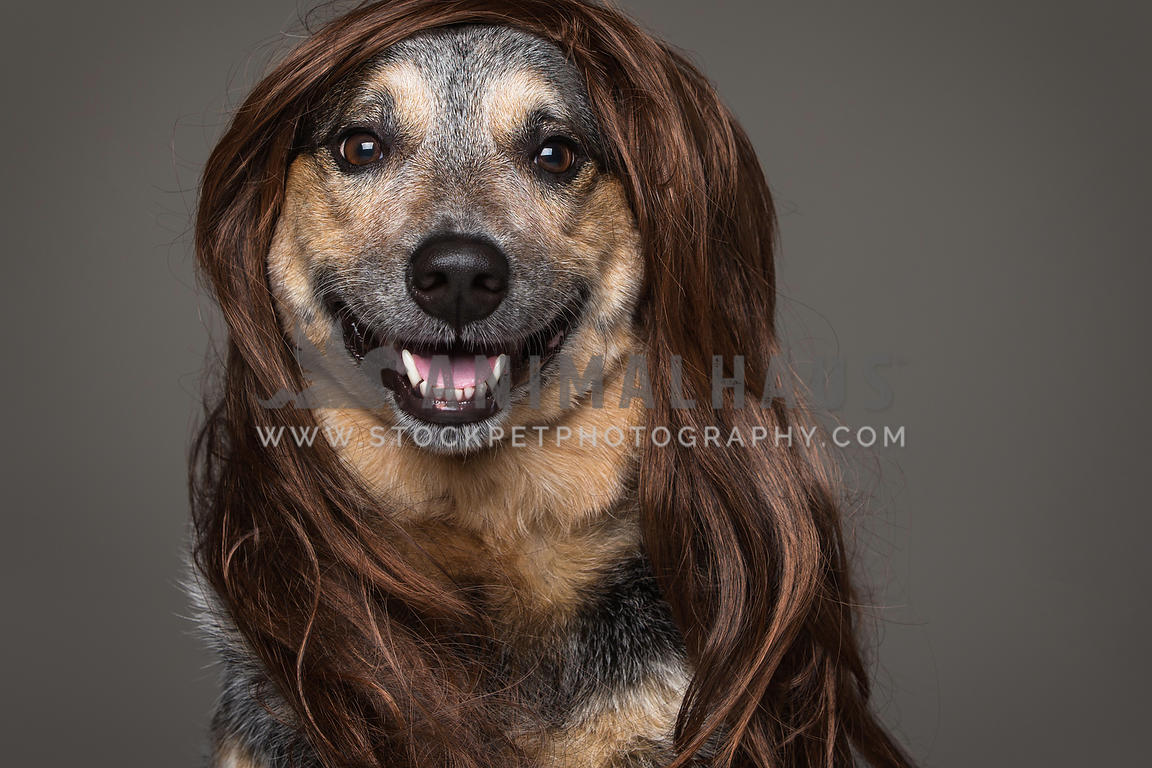 heeler dog wearing wig in studio