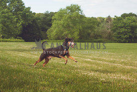 terrier mix bounding through a sunny field